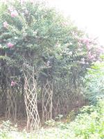 快乐赛车开奖紫薇榕树树桩
