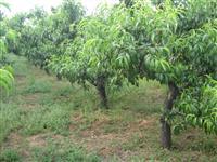 山西地区去供应5公分桃树,5公分苹果树,5公分山楂树,杏树,