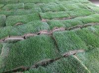 果岭草、百慕大混播黑麦草
