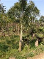 狐尾椰子供应/狐尾椰子图片