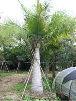 国王椰子供应/国王椰子图片
