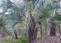 布迪椰子最新价格/布迪椰子报价