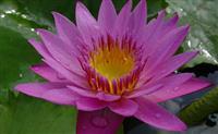 大量出售水生植物黄色睡莲,红色睡莲,白色睡莲