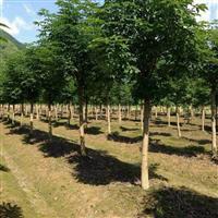 七叶树图片价格\七叶树供应\七叶树基地