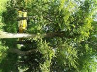 樸樹20公分