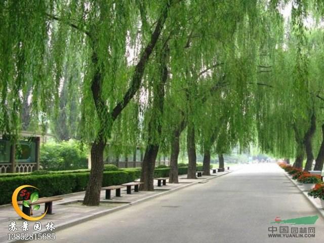 壁纸 垂柳 电脑 风景 风景壁纸 柳树 摄影 树 桌面 640_480