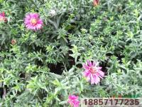 浙江荷兰菊