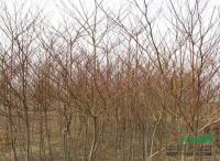 中华灯台树供应/中华灯台树图片