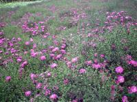 荷兰菊供应/荷兰菊图片