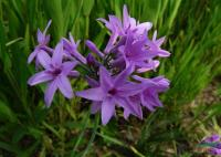 紫娇花供应/紫娇花图片