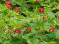 浙江蛇莓介绍