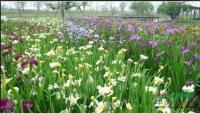 西伯利亞鳶尾 大量供應80萬芽