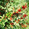 泽熙红灯笼樱桃果苗~高成活率 红灯笼樱桃树果树苗种苗~欢迎批