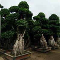 榕树盆景供应/榕树盆景图片