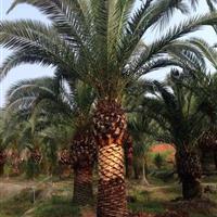 福建棕榈*新报价/棕榈图片