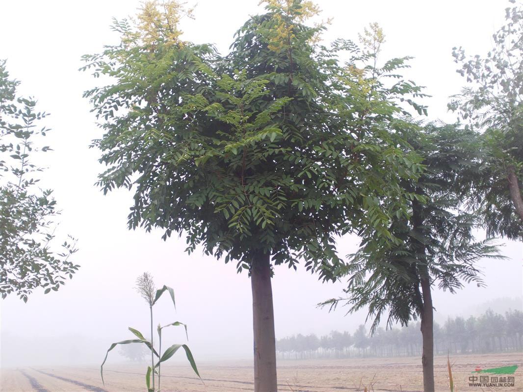 首页 绿化苗木频道 苗木供应 绿化苗木 乔木 出售:苦楝 青桐  供应