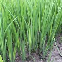 萧山大量供应海寿花,和其它水生植物,本苗圃基地500亩。