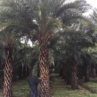 中东海枣 大型中东海枣基地农户直接批发 欢迎来电咨询