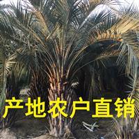 福建布迪椰子价格,大量出售自产布迪椰子杆高50公分到2米