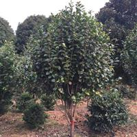 精品大茶花  冠副1.2米至3.5米