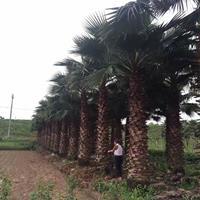 华棕(华盛顿棕榈) 大型华棕基地农户直接批发 欢迎来电咨询