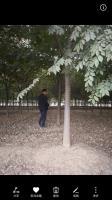1一45公分榉树基地//榉树价格榉树图片/榉树产地/行情