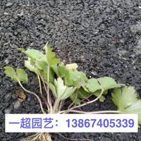 浙江薜荔 山蛇莓 华东蹄盖蕨 圆盖阴石蕨 水团花 水杨梅价格