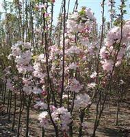 櫸樹.櫻花.垂柳.蜀檜、龍柏、合歡.欒樹.廣玉蘭.香樟.雪松