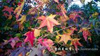 常年供应北美枫香2-18公分各种规格(上海汇景北美枫香园林)