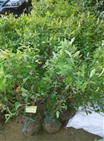 金丝桃、金丝桃小苗、金丝桃盆栽、金丝桃毛球