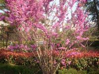 低价出售紫荆苗 独干紫荆1-10cm 丛生紫荆3-15分支