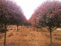 湖南红叶石楠、湖南红叶石楠球、湖南红叶石楠小苗、湖南红叶石楠