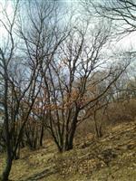 云杉,油松,白桦,油松,樟子松,哪里好,价格低,*选鑫森源