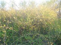 供应多年生丛生连翘3-10分支2万棵,丛生木槿3-10分支