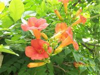 长期供应美国凌霄花,爬藤攀援植物