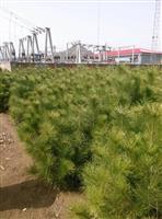 承德油松树苗,油松价格,油松批发