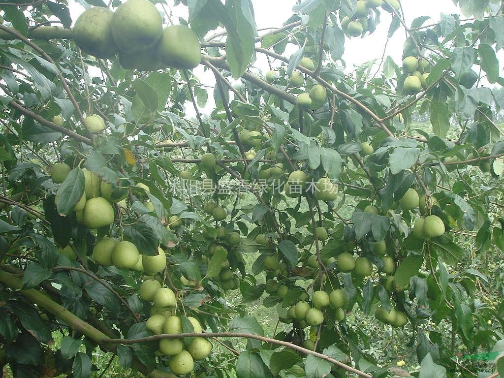 绿化苗木种子 林木种子 山楂树种子 山里果 山里红种子图片