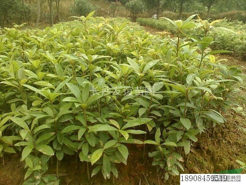 广西桂林金丝楠木 _18775054787_广西神州苗木种植基地