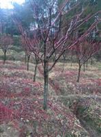 红枫,日本红枫 处理3-8公分的日本红枫