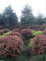 1米红叶石楠球,红叶石楠小苗,高杆红叶石楠树,红叶石楠价格