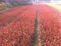 红叶石楠苗,扦插红叶石楠,高杆红叶石楠,红叶石楠球
