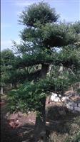造型榆树桩,湖南造型榆树,造型榆树图片,造型榆树价格