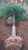15公分移栽香樟,20公分全冠香樟树,10公分截杆香樟价格