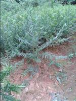 紅豆杉苗,紅豆杉種子,紅豆杉樹,南方紅豆杉價格,3公分紅豆杉