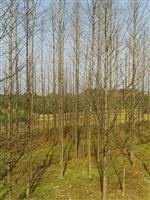 10公分水杉,6公分水杉,水杉树,水杉价格,湖南水杉