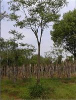 10-15公分移栽栾树,12公分栾树,全冠栾树,截杆栾树