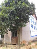 20公分全冠香泡树,15公分移栽骨架香泡树,香橼树,湖南香泡