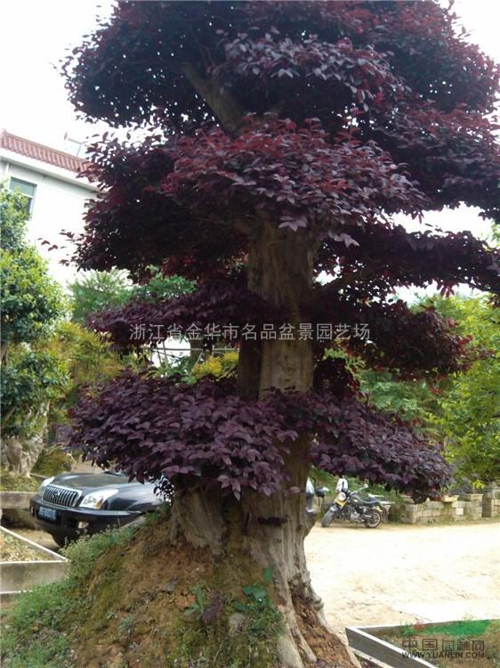浙江红花继木盆景出售