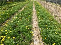 各种地被草花 黄金菊