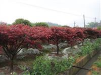 日本红枫基地,美国红枫价格,中国红枫产地1——15公分